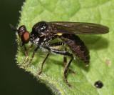 Eudioctria albius (female)