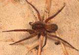Wolf Spiders - Genus Trebacosa