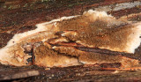 Serpula lacrymans (Dry Rot)