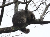 Common Raccoon - Procyon lotor (Cold and wet, sleeping in a tree)