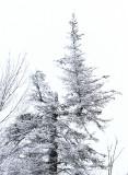 Regenerated tree top