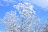 Snowy Tree in the Sun