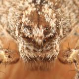 Philodromus praelustris