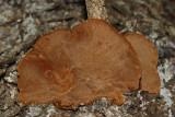 Phellinus chrysoloma