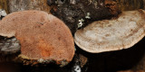 Fomitopsis cajanderi