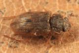 Helophorus orientalis