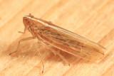 Stenocranus unipunctatus