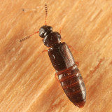Phloeonomus laesicollis