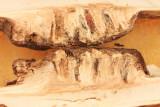 Asteromyia tumifica (gall)