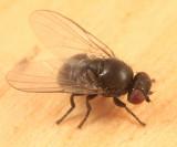 Poplar Twiggall Fly - Hexomyza schineri