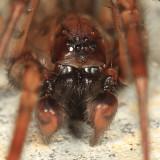 Coras lamellosus (male)