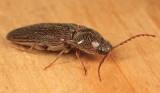 Melanotus sp.