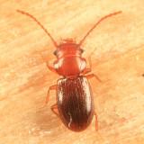 Charaphloeus sp.