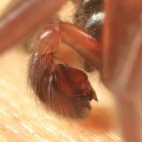 Haplodrassus bicornis