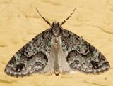 7637 - Mottled Gray Carpet - Cladara limitaria