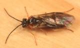 Nematus sp.