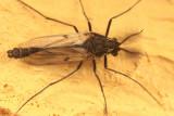 Procladius - subgenus Holotanypus (male)