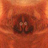 Trochosa terricola (epigyne)