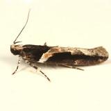 1858 - Telphusa longifasciella