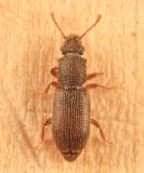 Root-eating Beetles - Monotomidae