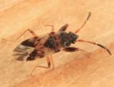 Scolopostethus thomsoni