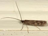 Molanna uliophila