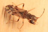 Neopamera albocincta