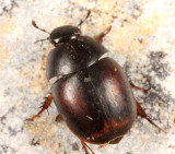 Sphaeridium bipustulatum