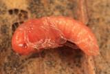 Silis percomis (pupa)