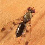 Opomyzidae Flies