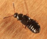Trichiusa sp.
