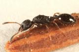 Leptothorax sp. (queen)