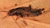 Platydracus maculosus