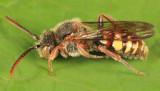 Nomada maculata