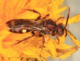Nomada gracilis