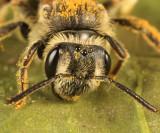 Andrena nasonii