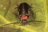 Schizotus cervicalis