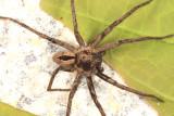 Thanatus formicinus