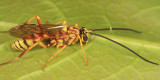 Banchus polychromus