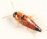 Tachyporus browni