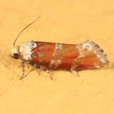 3066 - Eucosma gloriola