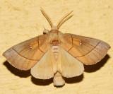 7915 - White-dotted Prominent - Nadata gibbosa