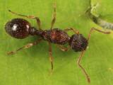 Myrmica sp. (queen)