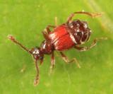 Ant-loving Beetles - Pselaphinae