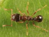 Immigrant Pavement Ant - Tetramorium immigrans