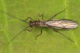 Amphinemura nigritta