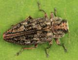 Chrysobothris scabripennis