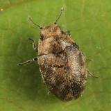 Limnichites punctatus