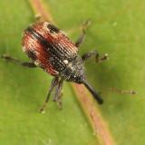 Anthonomus signatus