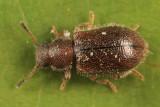 Paratenetus punctatus